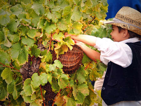 Chusclan village, France - October, 14th, 2012: a little boy harvesting grapes during 14th festival grape harvest of the history, Chusclan, France.