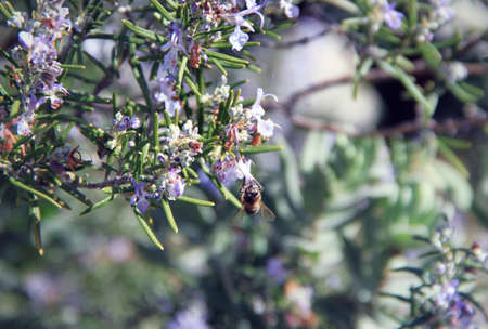pollinate: Bee pollinate a flower of rosemary Stock Photo