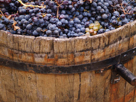 Harvesting grapes  grapes inside a bucket