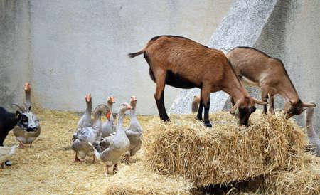 Les animaux dans les ch�vres de la ferme et plusieurs oies