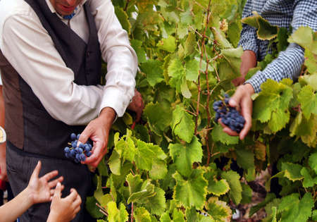 picked: Traditional grape harvesting Stock Photo