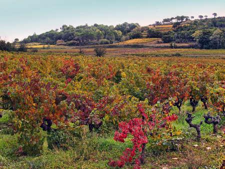 Vineyard Landscape in autumn, Provence, France photo