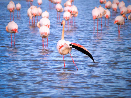 Pink flamingos  in Camargue National Park photo