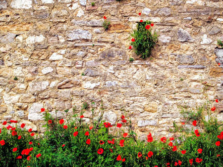 Red poppies growing on the old stone wall  photo