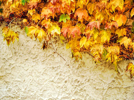 bine: autumn background from colourful leaves at the wall
