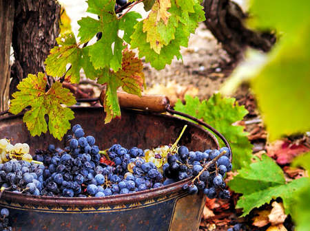Harvesting grapes. Close-up of grapes inside a bucket. France photo