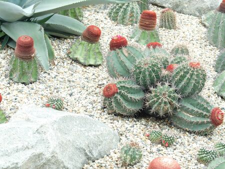 cactus flower: cactus,Cactus flower,Gardens by the Bay Stock Photo