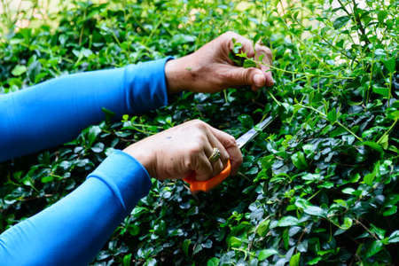 Worker pruning a bush photo