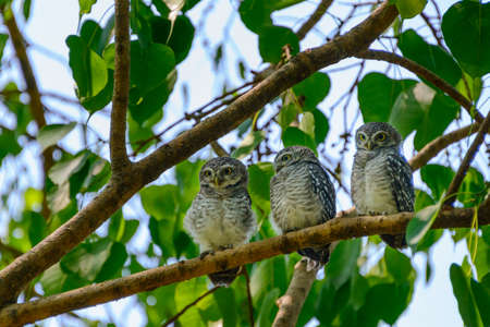 owlet: Spotted owlet family on a tree Stock Photo