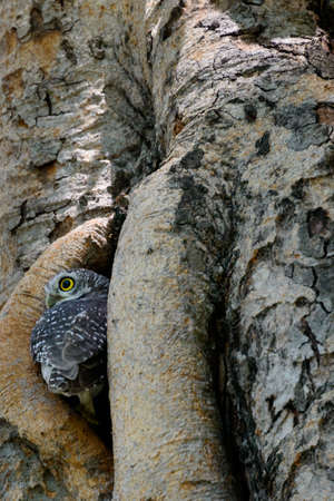 owlet: Spotted owlet hiding in a tree