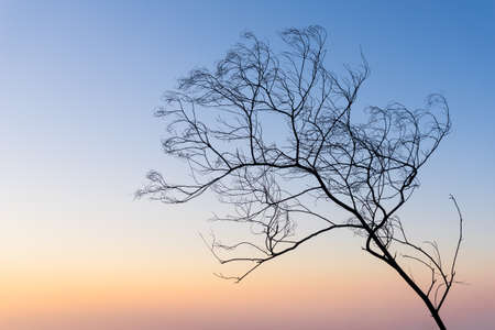 evening sky: Dried Tree and evening sky