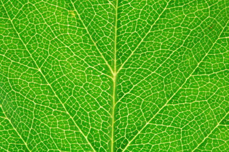 Macro green leaf texture. Abstract background Stock Photo - 10358667