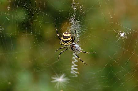 web2: Spider in her spiderweb. Argiope bruennichi.  Stock Photo