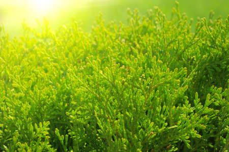 Close up green cypress tree in the sunlight Stock Photo