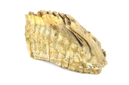 Mammoth tooth isolated on a white background (30,000 years old)