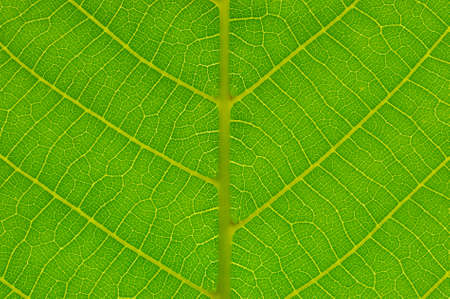 Green leaf background. Leaf texture. Macro photo. Abstract nature background.