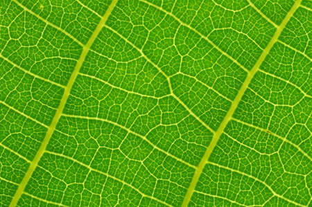 Green leaf texture. Macro photo. Abstract nature background.