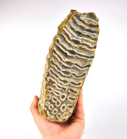 Mammoth tooth in the hand isolated on a white background.