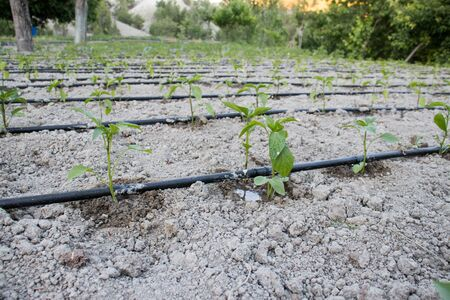 Close Up Drip Irrigation System. Water-saving drip irrigation system used in a tomato field.