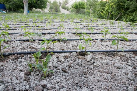 Close Up Drip Irrigation System. It is a water-saving drip irrigation system used in a tomato field.