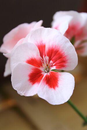 pelargonium: Pelargonium