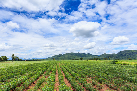 Cassava plant field under blue sky