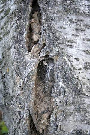 cortex: fragment cortex old tree