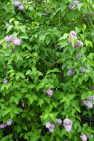 flowerses: bushes wild lilac spring daytime Stock Photo