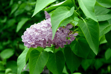 flowerses: branch flowering lilac by springtime Stock Photo