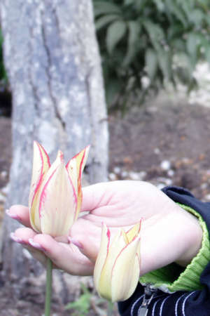 yellows: yellows tulips in hand