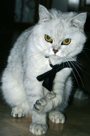 beautiful home cat in tie is going to on evening party Stock Photo - 3077580