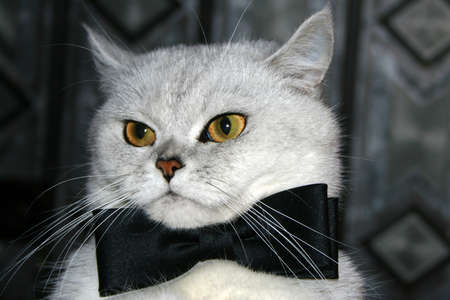 cat's eye glasses: beautiful home cat in tie is going to on evening party