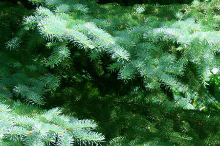 blissfull: branches spruce year solar daytime