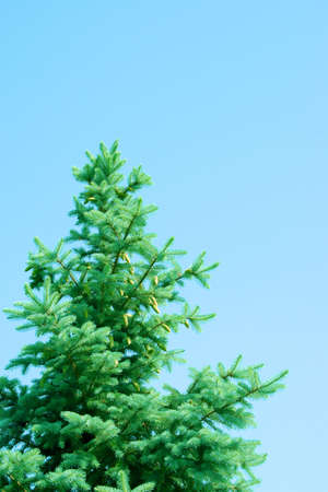 agruculture: branches spruces year solar daytime