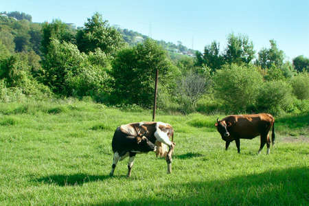 two cows on green meadow on background of the mountain tops photo