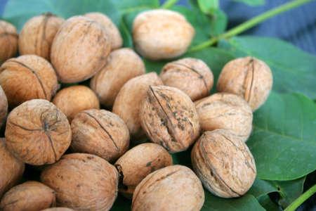 green sheet tree and small quantity ripe nut Stock Photo - 3668120