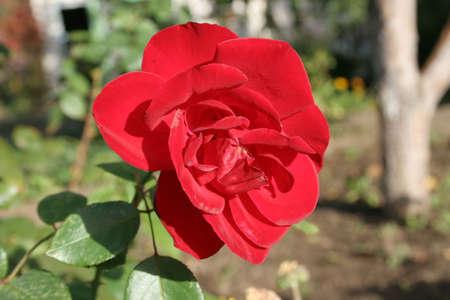 spa still life: shining red rose Stock Photo