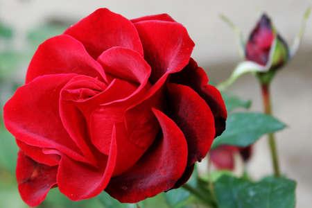 spa still life: abstract scene shining red rose