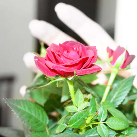 abstract scene with rose in feminine hands photo