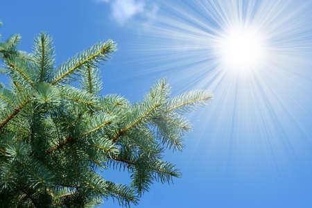 pine and sun photo