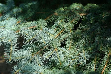 pine photo