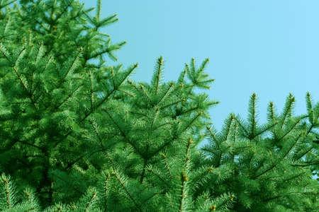 sky and pine photo