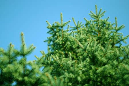 pine and sky photo