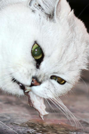 scene pedigreed home cat  photo