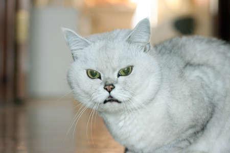 scene pedigreed home cat as illustration illustration