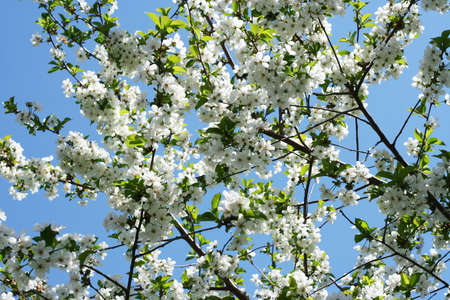 cherry blossoms Stock Photo - 9705642