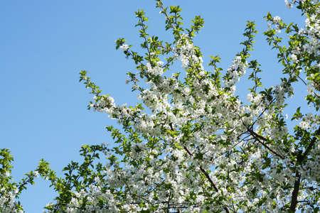 cherry blossoms Stock Photo - 9705641