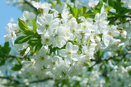 beautiful flowerses cherry on tree photo