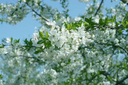 beautiful flowers cherry on tree Stock Photo - 9702354