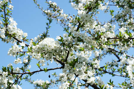 beautiful flowers cherry on tree photo